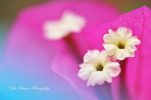 Pink-bougainvillaea