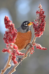 Robin eating sumac