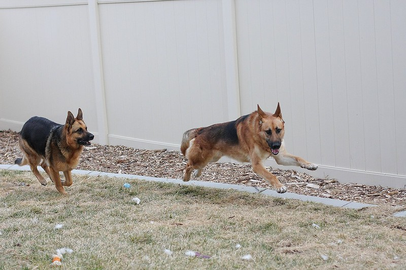 Playdate pics with our 3 and a GSD we might be adopting soon! 12870205745_ed22409983_c