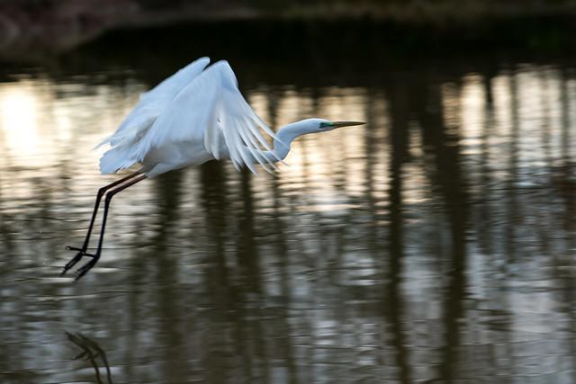 Great Egret - Airone bianco maggiore (Casmerodius albus) 02