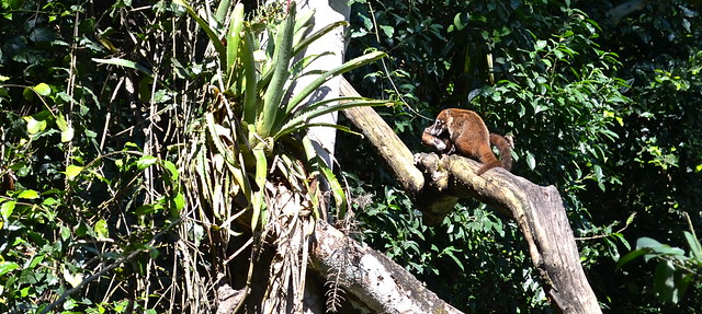 Coati Mundi Mating Tikal Guatemala
