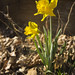 Narcissus pseudonarcissus, Warren County, Tennessee