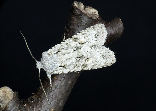 2237 Grey Shoulder-knot - Lithophane ornitopus