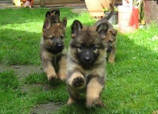 puppy shopping