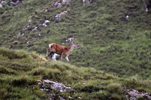 Scots Deer
