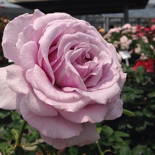 紫のバラ。シークレットパヒュームというらしい