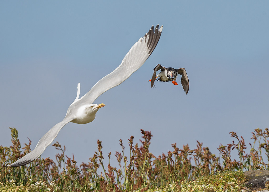 Herring Gull ambush