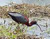Ibis Pico de Hoz, Glossy Ibis (Plegadis falcinellus) by Francisco Piedrahita