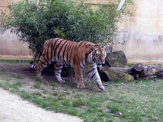 Tiger, Zoo Hannover