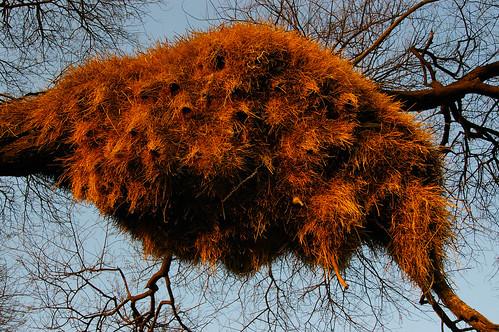 Weaver Sociable nest