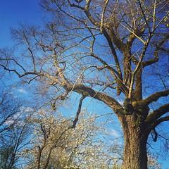 Majestueux ! Ce tilleul centenaire à La Grosse Talle.  Het schijnt dat de lindeboom enkele honderden jaren oud is...