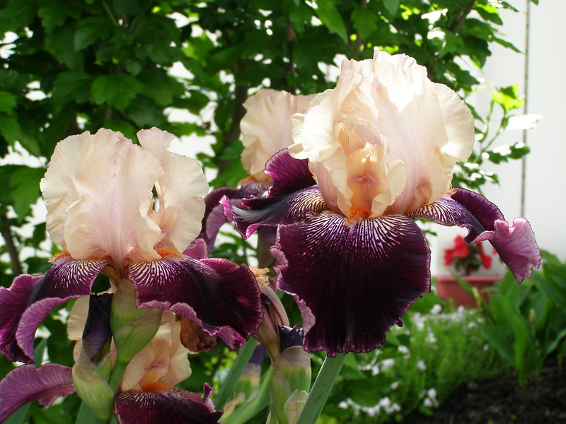 ~ german bearded iris...