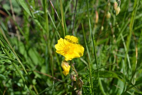 plant cistaceae solvända commonrockrose
