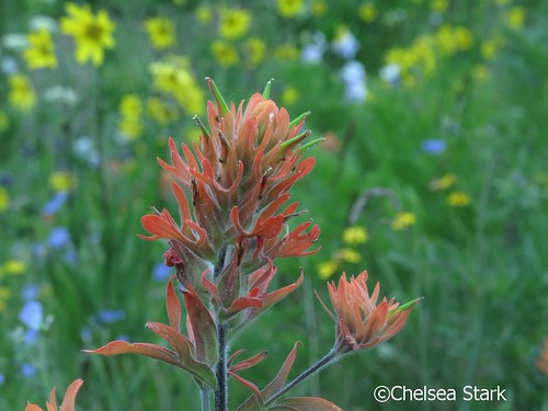 Wild Flower study 3.    Chelsea Stark http://www.chelseastarkphotography.com by chelseastarkphotography.com