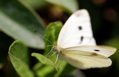 flower(0.0), colias(0.0), plant stem(0.0), arthropod(1.0), pollinator(1.0), animal(1.0), moths and butterflies(1.0), butterfly(1.0), leaf(1.0), wing(1.0), nature(1.0), invertebrate(1.0), macro photography(1.0), flora(1.0), green(1.0), fauna(1.0), cabbage butterfly(1.0), close-up(1.0),