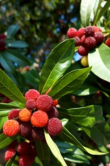 leaf, tree, strawberry tree, myrica rubra, plant, flora, produce, fruit, food,