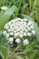 grass(0.0), apiales(1.0), yarrow(1.0), flower(1.0), cow parsley(1.0), plant(1.0), herb(1.0), anthriscus(1.0), wildflower(1.0), flora(1.0), produce(1.0), caraway(1.0),