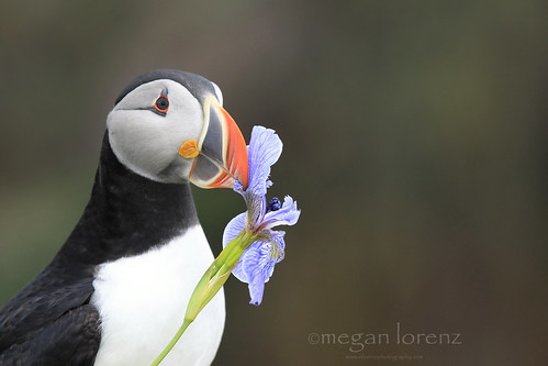 Romantic Puffin by Megan Lorenz