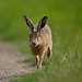 Brown Hare running with tounge out Lepus europaeus by mikejrae