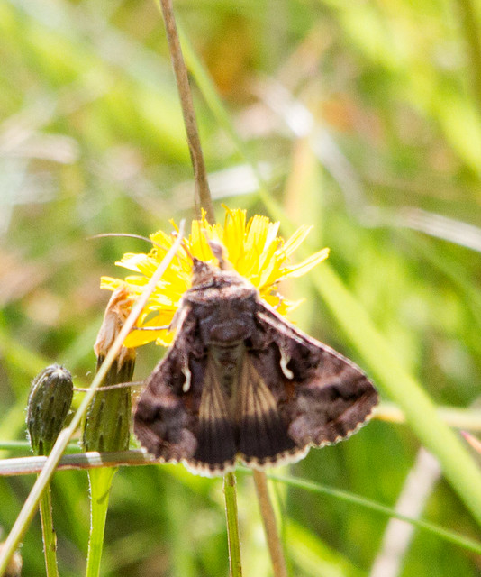 Silver Y Moth, Baildon Moor