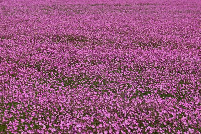 Ocean of pink