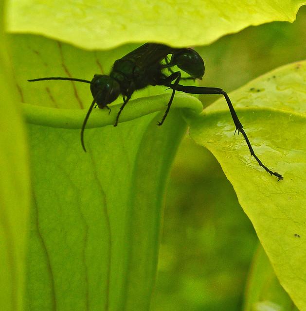 Hunting (Sarracenia alata)