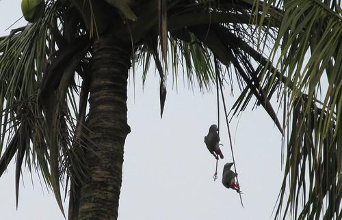 éclaireurs in Kisangani