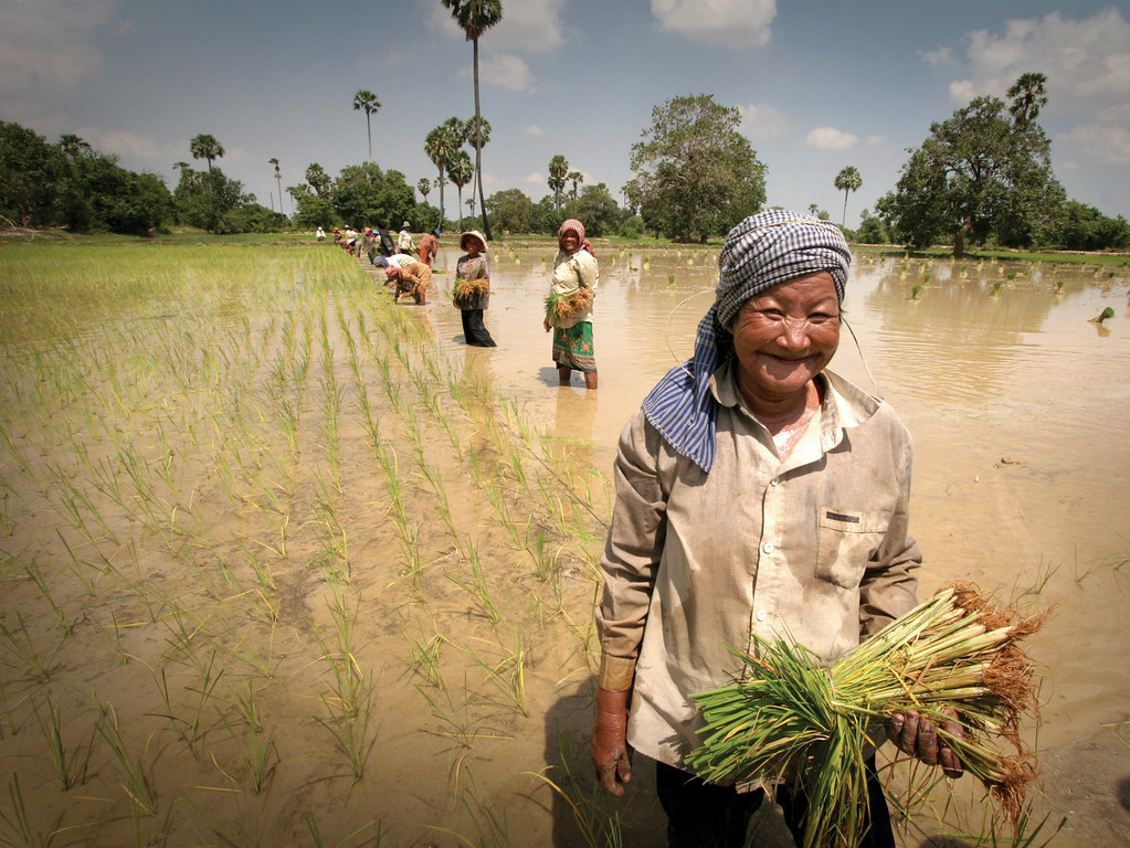 Cambodia - Working in the rice paddies