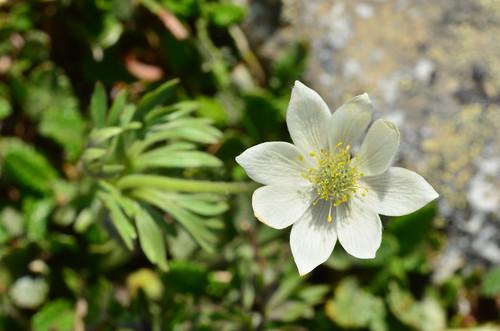 <p><i>Anemone drummondii lithophila</i>, Ranunculaceae<br /> Whistlers, Jasper National Park, Alberta, Canada<br /> Nikon D5100, 105 mm f/2.8<br /> July 8, 2012</p>