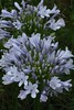 Agapanthus africanus, Lily of the Nile
