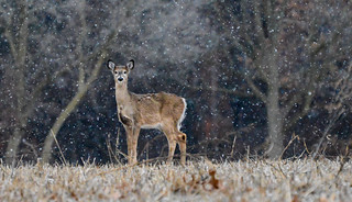 Michigan Whitetail Deer