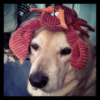 Sophie's got a little something on her head...and no, she was NOT pleased with me. #dogstagram #houndmix #lobster #toocute #adoptdontshop #Rescued #funny
