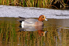 Wigeon on the Mere