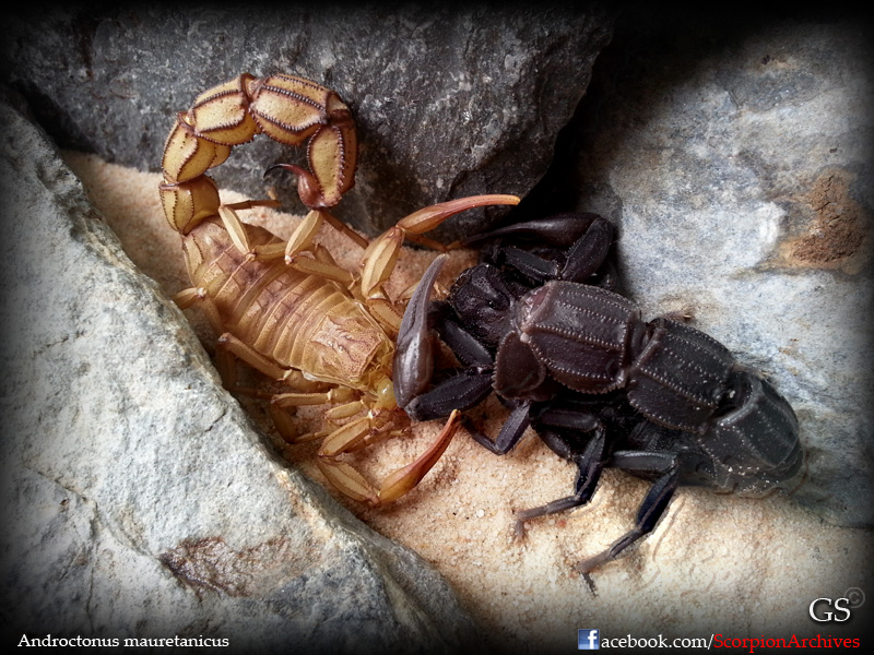 Who molted today? (Scorpion molting pics) - Page 4 12264628825_f4edac4b06_o
