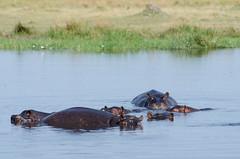 Flusspferde / Hippos