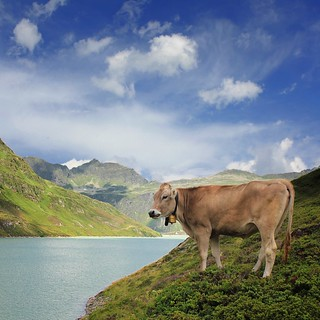 Alpine cow in the isolated mountain world of Silvretta