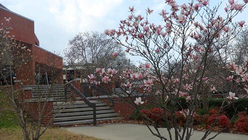 magnolia flower 9
