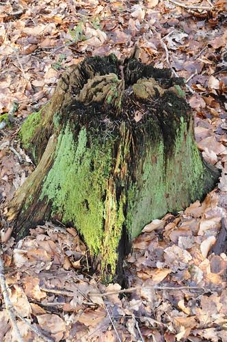 Grün überwachsener Baumstumpf in Staatsforsten in Ostenfeld, Nordfriesland (30)