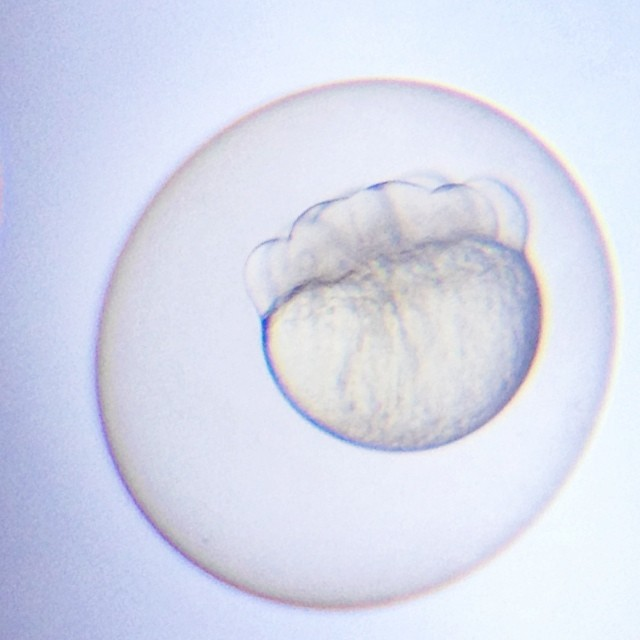 Eight cell stage zebrafish embryo #scicomm #microscopy