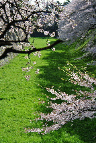 Cherry blossoms in Nagoya castle No.2.