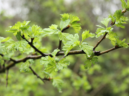 New green hawthorn leaves