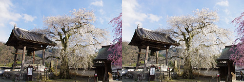 Koufukuji-no Oitozakura (cherry blossoms), stereo parallel view