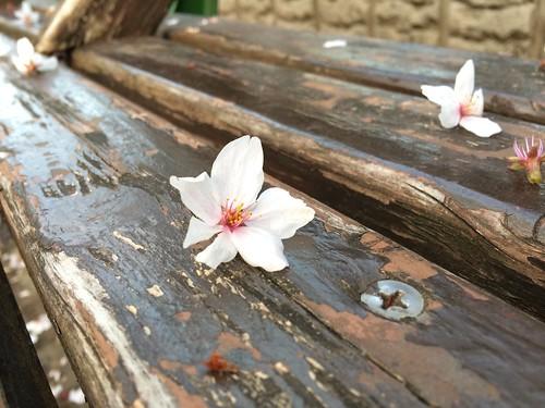 ベンチに桜