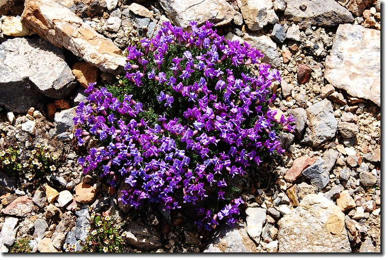 Mountain Blue Violet