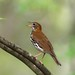 Wood thrush in song by geno k