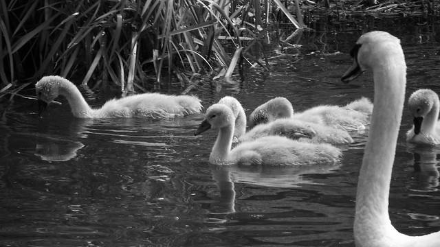 The Swan Family 02