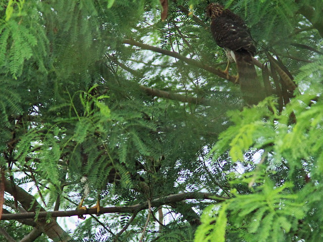 Two Cooper's Hawks in tree 20150802