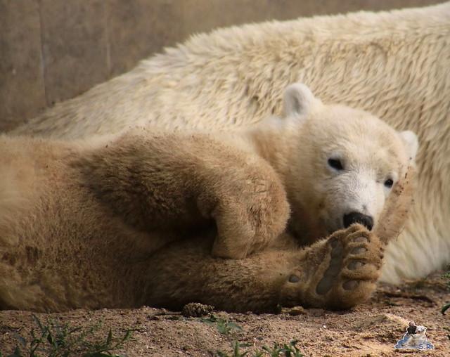 Eisbär Fiete im Zoo Rostock 08