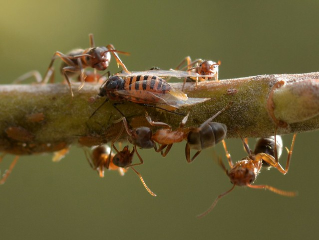Ants tending a large aphid which is giving live birth!