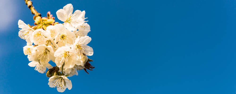 Kirschblüte_043